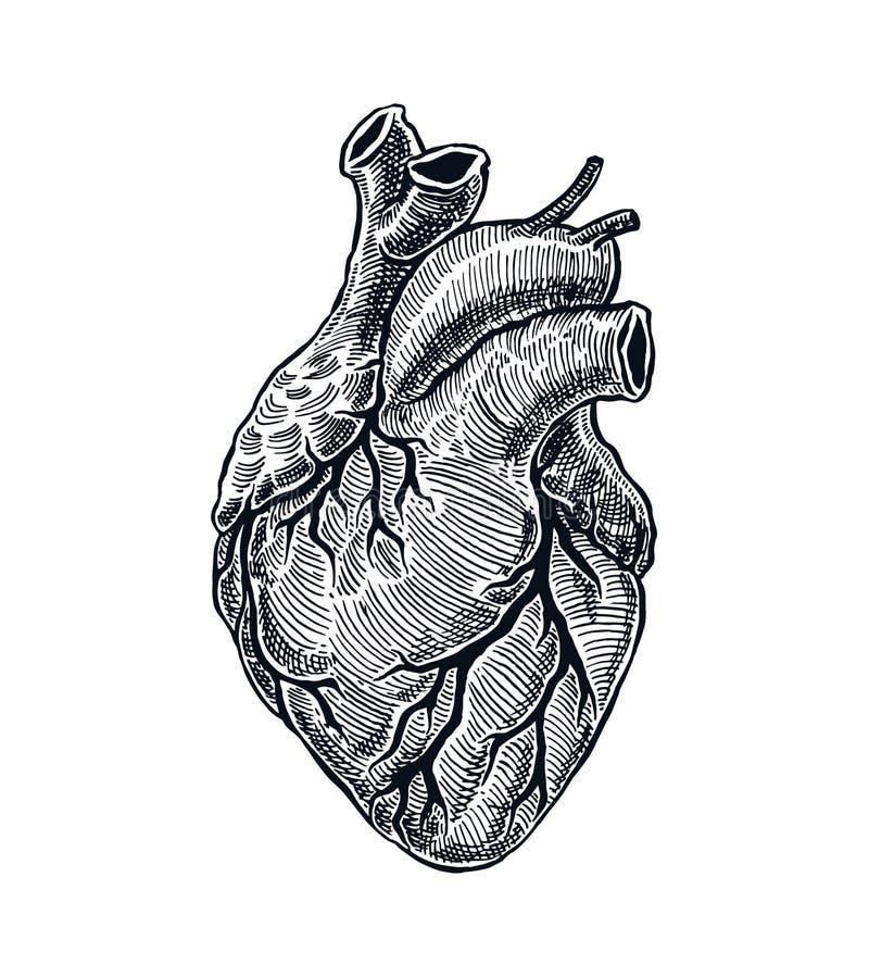 Реалистическое человеческое сердце иллюстрация вектора