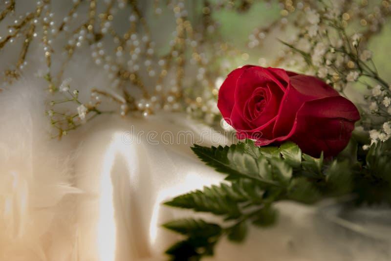 Реальная свежая красная роза на валентинке свадьбы белой silk ткани романтичной стоковая фотография rf