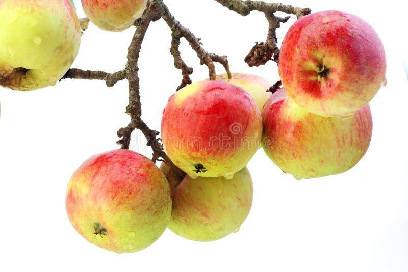 реальное яблок изолированное ветвью стоковые изображения