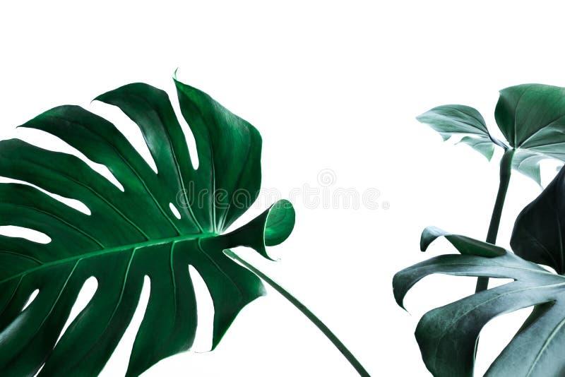 Реальные листья monstera украшая для дизайна состава Тропический, стоковые фотографии rf