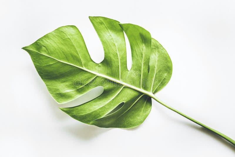Реальные тропические предпосылки листьев на белизне Ботаническая концепция природы стоковые фотографии rf