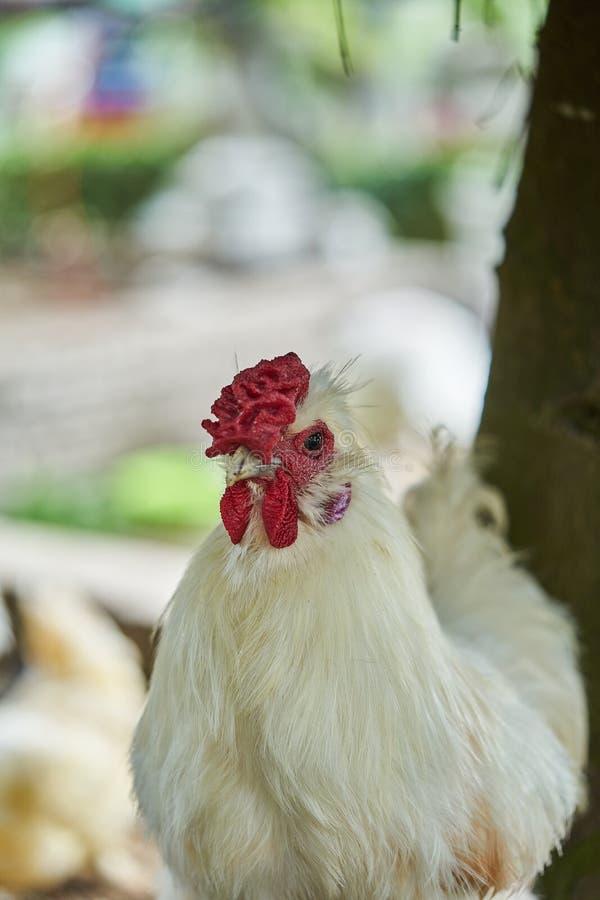 Реальный белый цыпленок птицы сельского хозяйства, конец вверх по курице идет стоковое фото