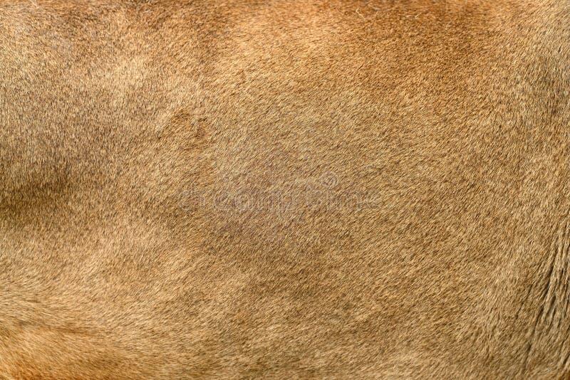 Реальная текстура кожи льва стоковые изображения rf