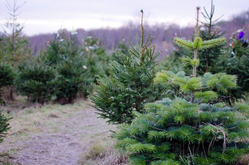 Реальные рождественские елки стоковая фотография rf