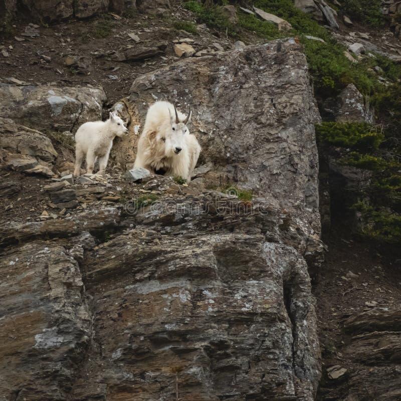 Ребенк козы горы и взрослый взгляд вниз со скалы стоковая фотография rf