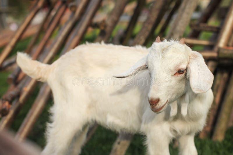 Ребенк козы младенца с запачканными стогами сена позади стоковые фото