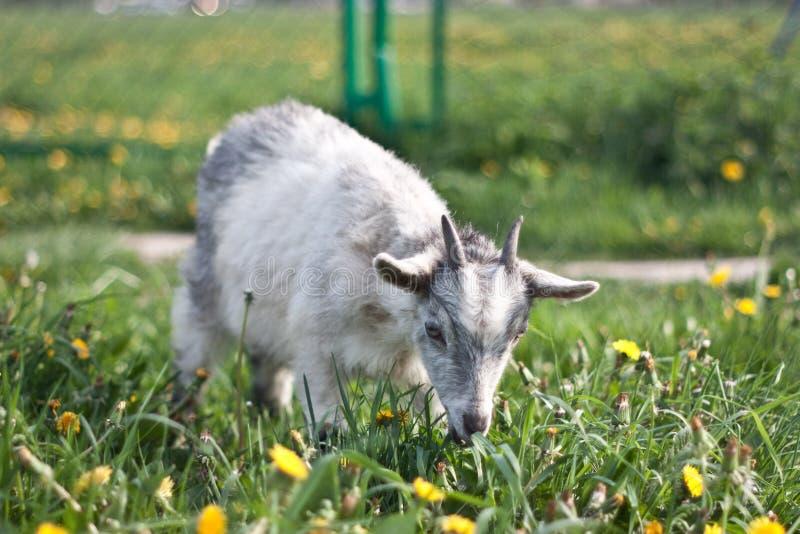 Ребенк козы стоковое изображение rf