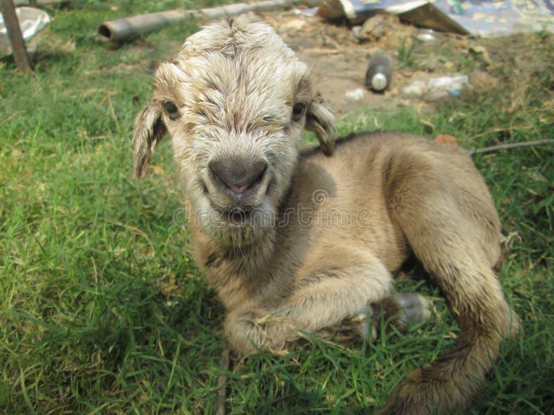 Ребенк козы стоковые фото
