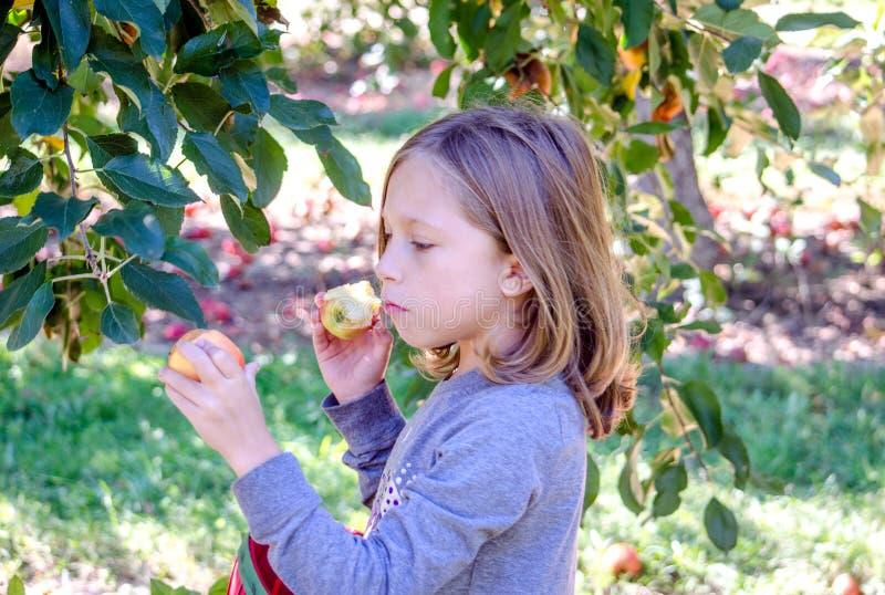 Ребенок есть яблоко в саде и выбирая больше стоковые фото