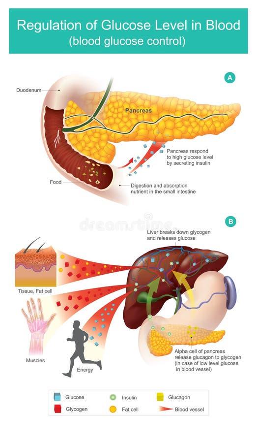 Регулировка уровня глюкозы в крови иллюстрация вектора