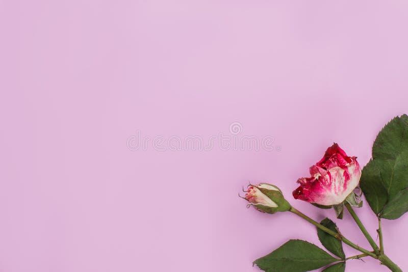 Редкий сухой черный дракон поднял на розовую предпосылку стоковое фото