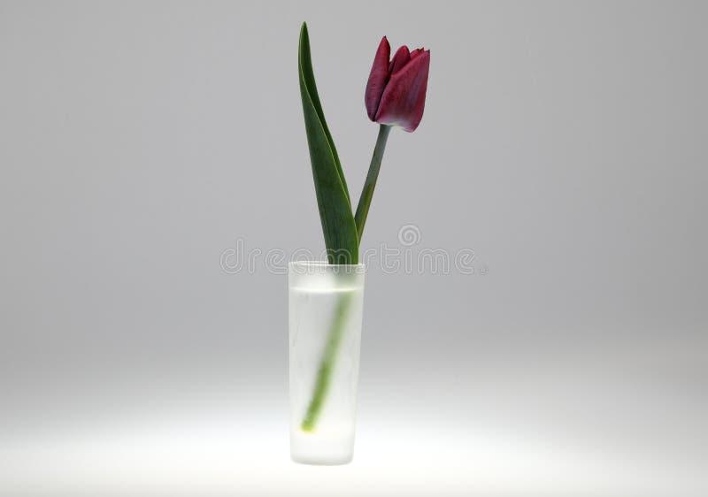 Редкий bardy цветок тюльпана с темными лепестками в небольшом стеклянном стекле стоковые фото