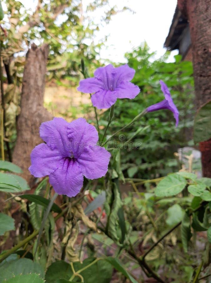 Редко пурпурный красивый фиолетовый цветок стоковое фото rf