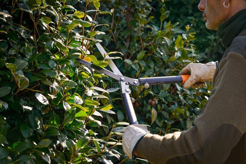 Режущ изгородь с scissor, подрезать зимы стоковое изображение
