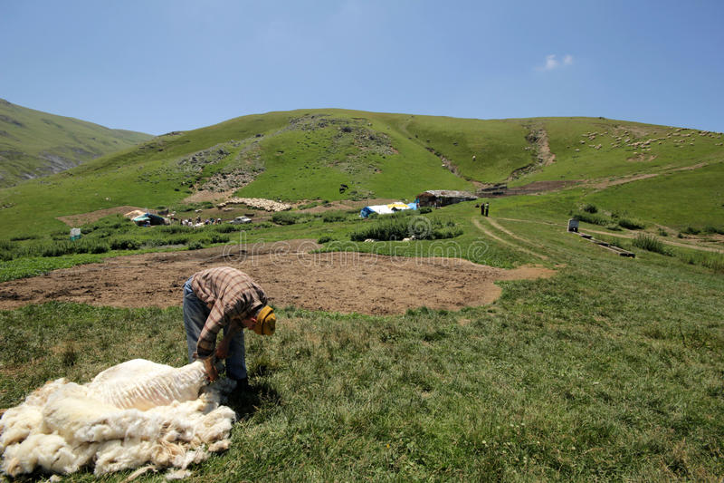 Резать овец стоковое фото rf