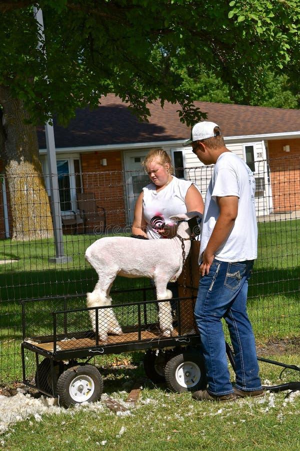 Резать овцу для судя состязания стоковая фотография rf