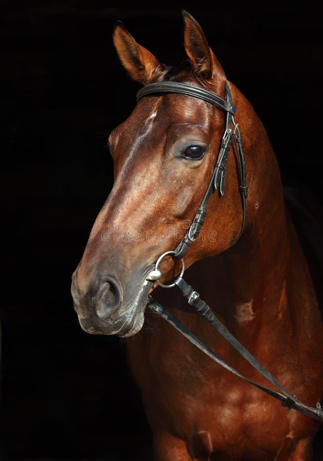 Резвит лошадь с классической уздечкой стоковое фото rf