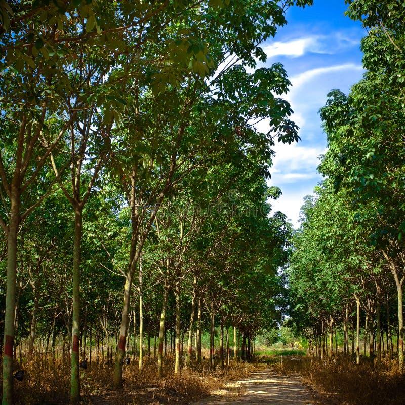 резина плантации стоковое фото rf