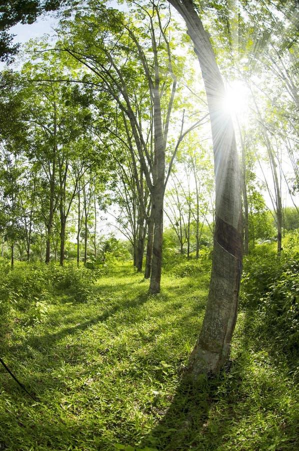 Резиновая плантация стоковое фото