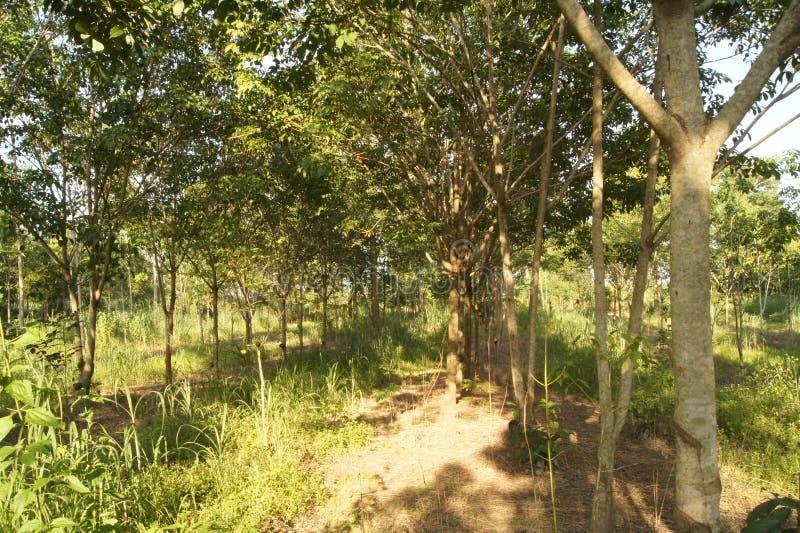 Резиновая плантация покрытая трава области стоковая фотография rf