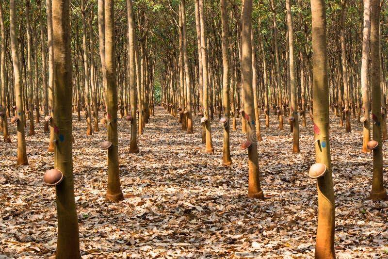 Резиновая плантация стоковое фото rf