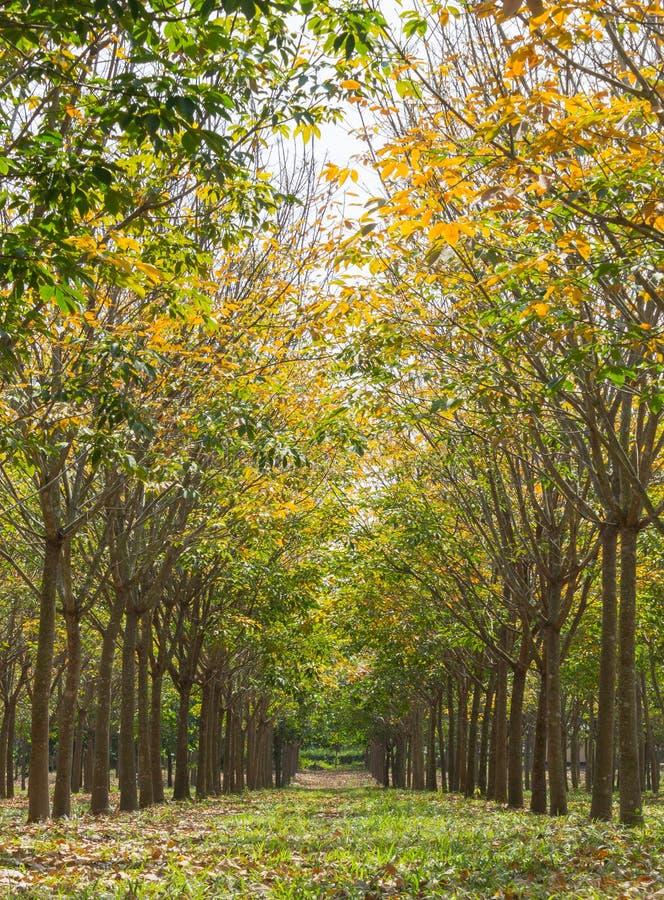 Резиновое дерево в вертикали взгляда резиновой предпосылки леса нормальной стоковые изображения