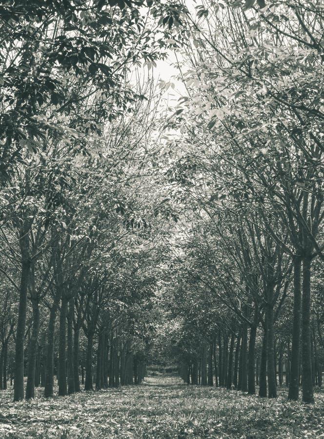 Резиновое дерево в вертикали Bla взгляда резиновой предпосылки леса нормальной стоковое фото rf