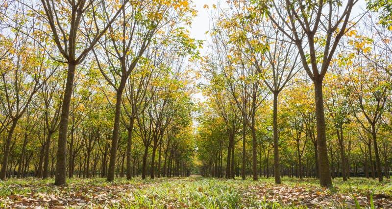 Резиновое дерево в взгляде резиновой предпосылки леса широком стоковые фотографии rf
