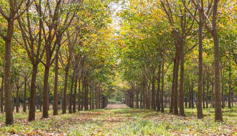 Резиновое дерево в резиновом конце низкого угла предпосылки леса вверх стоковое изображение
