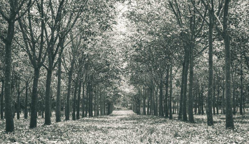 Резиновое дерево в резиновом конце низкого угла предпосылки леса вверх по черноте стоковые изображения