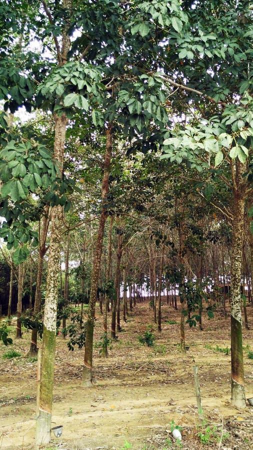 Резиновые деревья в Малайзии стоковое изображение rf