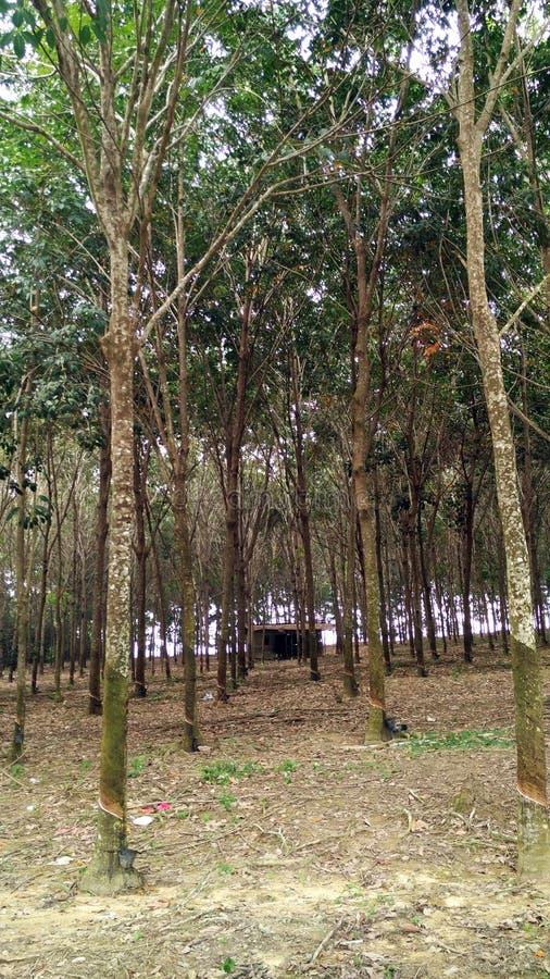 Резиновые деревья в Малакке стоковые фотографии rf