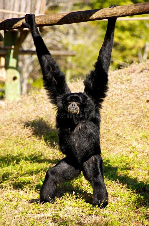 резус обезьяны стоковые изображения rf