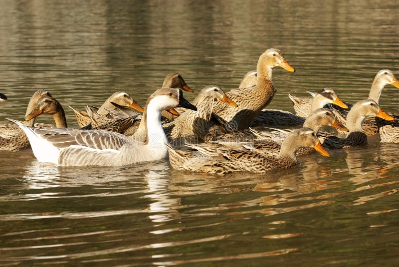 река гусыни утки стоковые изображения rf