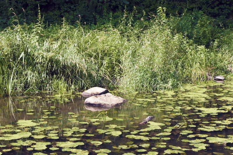 Река помыто камнями с листьями лилий стоковые фото
