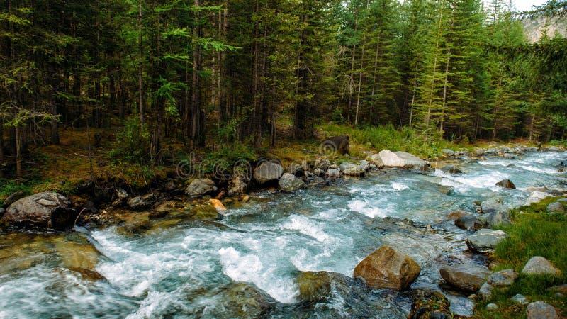 Река скалистой горы среди сосен Красивое быстро-пропуская река в coniferous лесе дикая природа Altai стоковое изображение rf