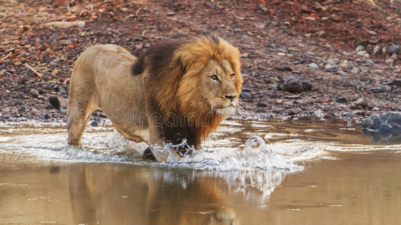 Река 2 скрещивания льва стоковые фотографии rf