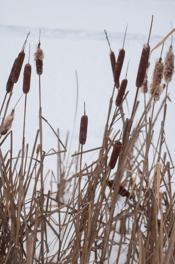 Река сухих тростников покрытое снег стоковая фотография rf