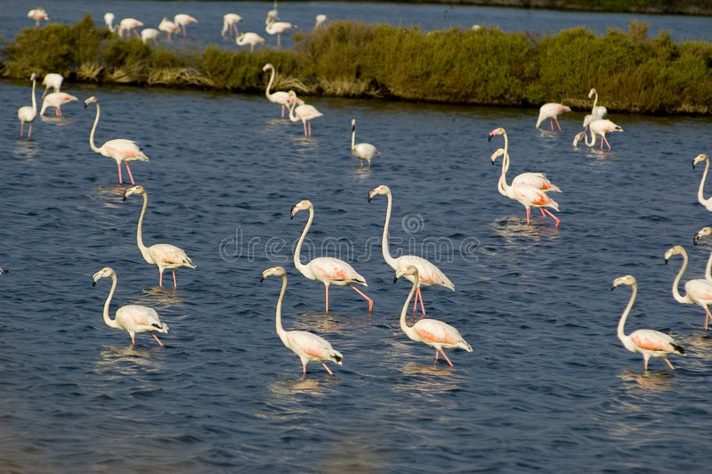 река tagus фламингоа стоковые фото