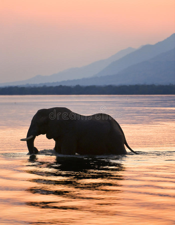 река zambezi слона стоковое изображение rf