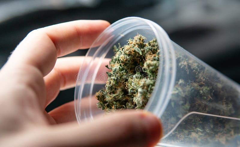 Рекреационное напряжение марихуаны Sativa сбор THC в деталях стоковые фотографии rf