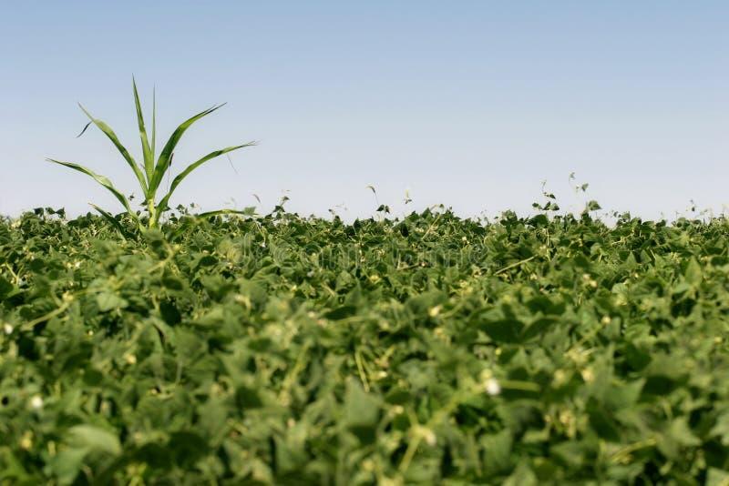 ренегат урожая стоковое изображение rf