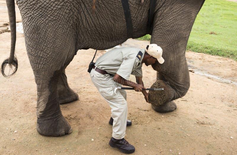 Ренджер объясняет всю вещь о ногах слона стоковые изображения
