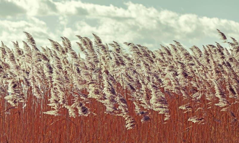 Ретро фильтрованная годом сбора винограда сухая предпосылка природы тростников стоковые фото