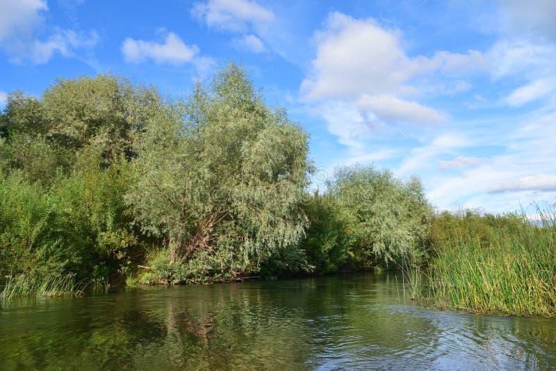 речной берег перерастанный с вербами и тростниками стоковые изображения rf
