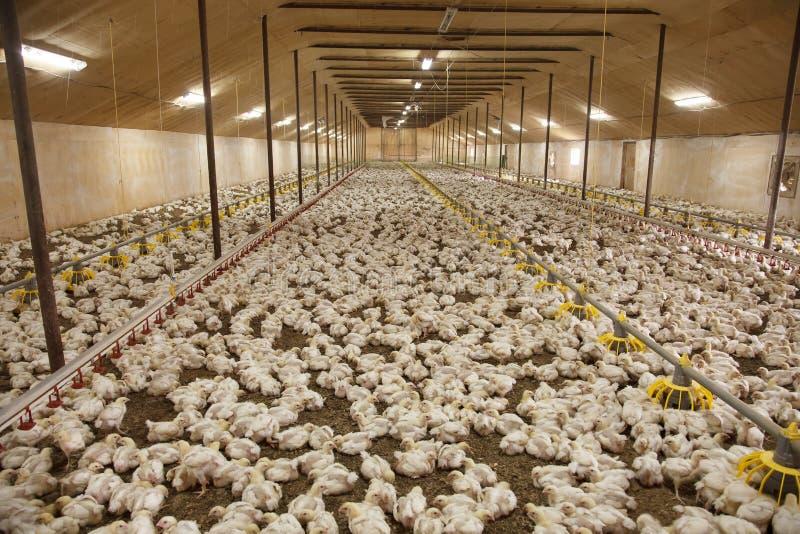 решетка фермы цыпленка младенца сверх стоковое изображение