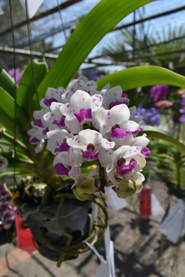 Редкая орхидея азиата вида стоковое фото rf