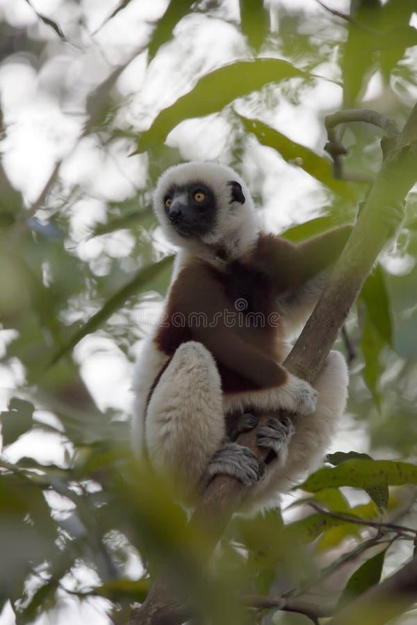 Редкий лемур увенчал Sifaka, Propithecus Coquerel, наблюдая от дерева рядом, запас Ankarafantsika, Мадагаскар стоковые фото