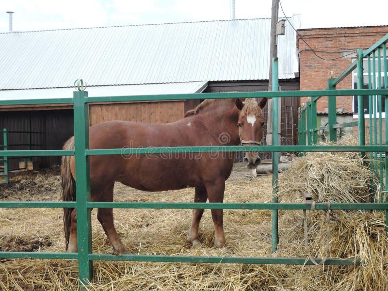 Ржавая красная лошадь за земледелием животной природы загородки питаясь стоковое изображение