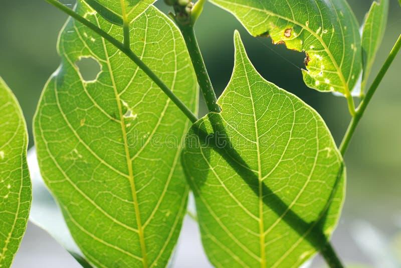 ржавчина листьев стоковое фото rf
